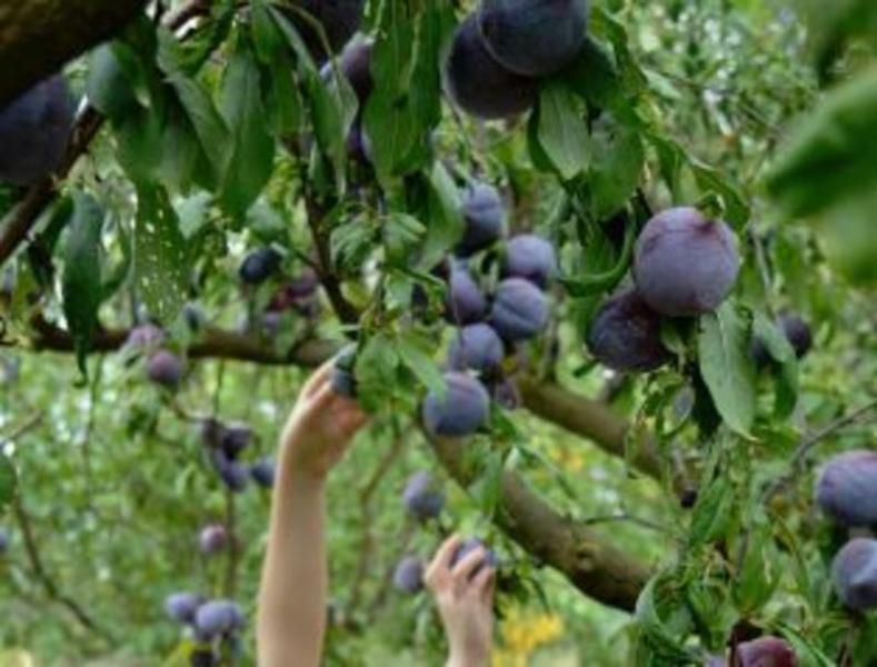 Freehold Fruit Farm business for sale in VIC - Companies Port
